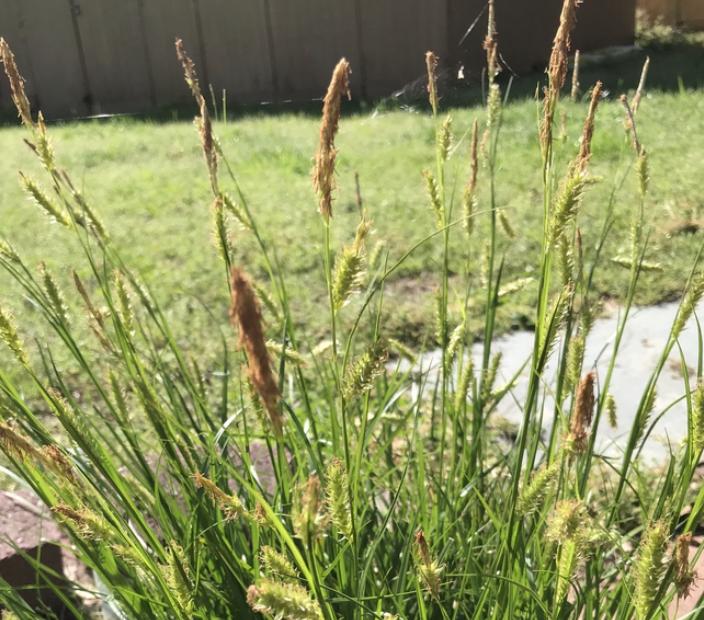 Cherokeensis Carex