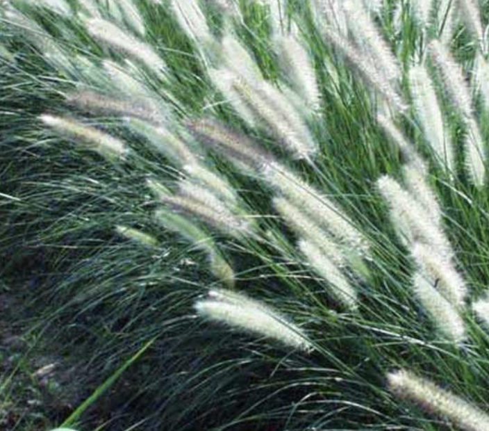 Fountain Grass Pennisetum