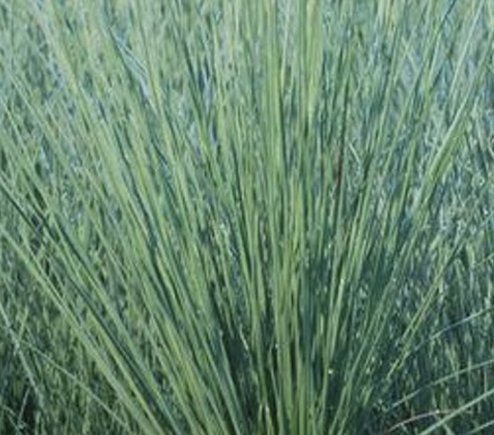 Juncus Blue Arrow