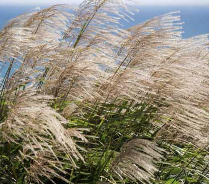 Miscanthus Maiden Grass