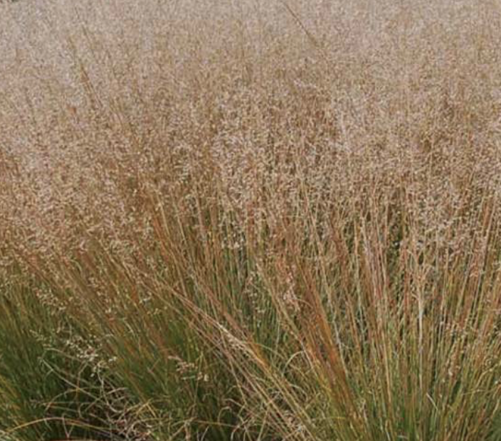 Sporobolus - Prairie Dropseed