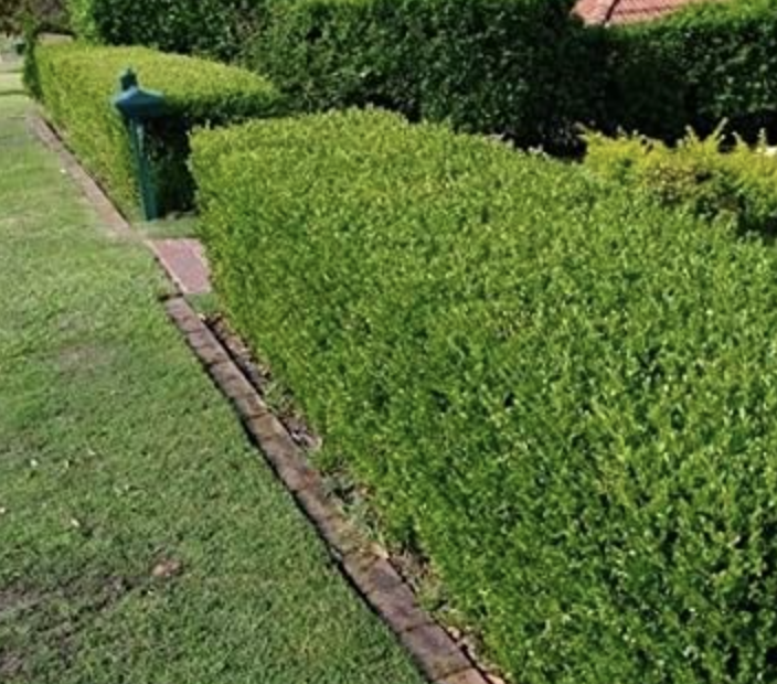 Boxwood Japanese